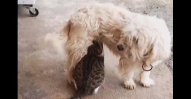 Köpek Kedinin Süt Annesi Oldu