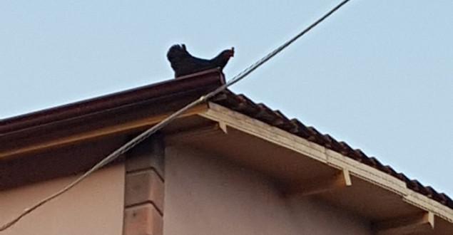 Evin çatısına çıkan tavuk kuş gibi uçarak yere indi