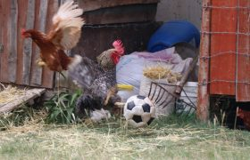 Futbol Tutkunu Horoz, Toplara Şut Çekerek Cevap Veriyor
